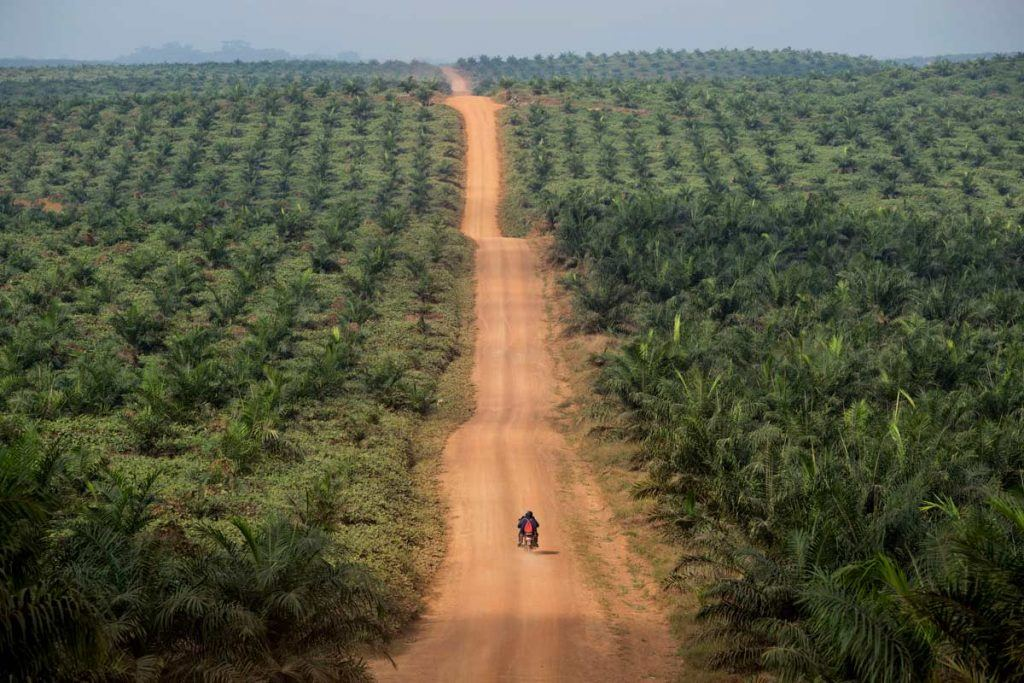 EPO's sprawling plantation in Grand Bassa County, Liberia. A motorcycle drives down a dirt road in between massive rows of plants.