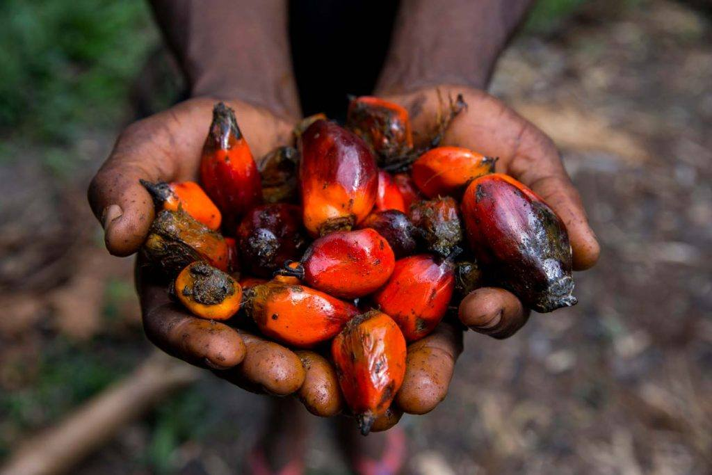 The fruits of oil palm trees in a person's open hands. The fruits are used to make palm oil, a vegetable oil used in cooking as well as numerous commercial products.